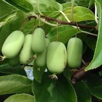 Kiwi JUMBO Femelle - Kiwaï - Actinidia