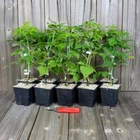 FRAMBOISIERS - Lot de 10 Plants - Variétés au Choix - Framboise