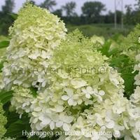 Hydrangea paniculata PHANTOM - Hortensia