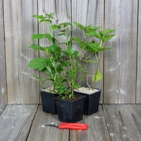 Arbustes à PETITS FRUITS - Lot de 3 Plants - Variétés au Choix