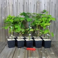Arbustes à PETITS FRUITS - Lot de 10 Plants - Variétés au Choix
