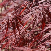 Acer palmatum FIRECRACKER - Erable du Japon FIRE CRACKER