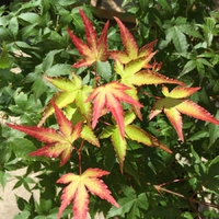Acer palmatum LITTLE PRINCESS - Erable du Japon LITTLE PRINCESS