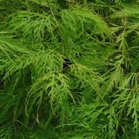 Acer palmatum SHINONOME - Erable du Japon SHINONOME
