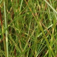 Miscanthus sinensis ETINCELLE - Graminée