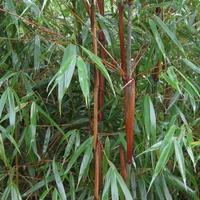 Fargesia scabrida ASIAN WONDER - Bambou non traçant