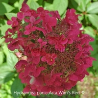 Hydrangea paniculata WIM'S RED ® - Hortensia