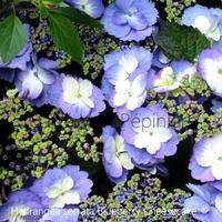 Hydrangea serrata BLUEBERRY CHEESECAKE ® - Hortensia