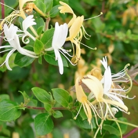 Chevrefeuille Hall's Prolific - Lonicera japonica