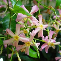 Faux Jasmin PINK - Trachelospermum asiaticum