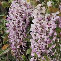 Glycine du Japon ROSEA - Wisteria floribunda