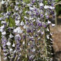 Glycine du Japon MACROBOTRYS - Wisteria floribunda