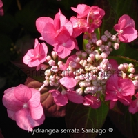 Hydrangea serrata SANTIAGO ® - Hortensia