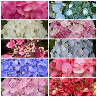 Hortensia - Hydrangea - Lot de 3 Plants - Variétés au choix