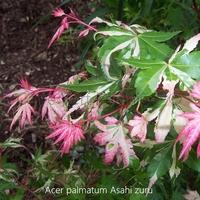 Acer palmatum ASAHI ZURU - Erable du Japon