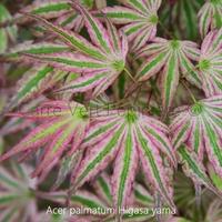 Acer palmatum HIGASA YAMA - Erable du Japon