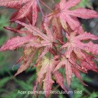 Acer palmatum RETICULATUM RED - Erable du Japon