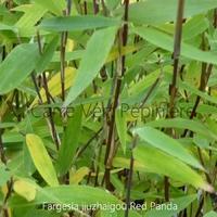 Fargesia jiuzhaigou RED PANDA - Bambou