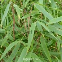 Fargesia RUFA - Bambou