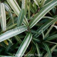 Pleioblastus chino TSUBOI - Bambou