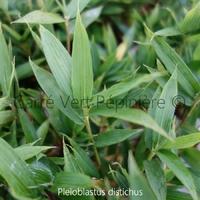 Pleioblastus DISTICHUS - Bambou