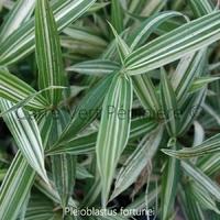 Pleioblastus FORTUNEI - Bambou