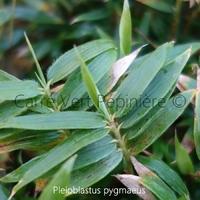 Pleioblastus PYGMAEUS - Bambou