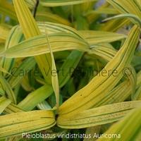 Pleioblastus viridistriatus AURICOMA - Bambou