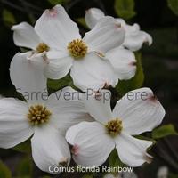 Cornus florida RAINBOW - Cornouiller à Fleurs