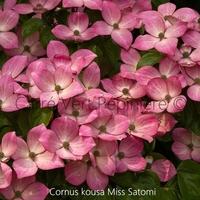 Cornus kousa MISS SATOMI - Cornouiller à Fleurs