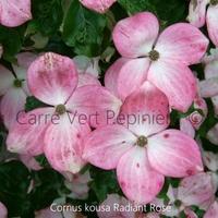 Cornus kousa RADIANT ROSE - Cornouiller à Fleurs