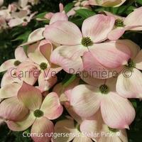 Cornus rutgersensis STELLAR PINK® - Cornouiller à fleurs
