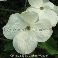 Cornus x EDDIE'S WHITE WONDER - Cornouiller à Fleurs