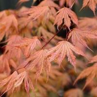 Acer palmatum ARIADNE - Erable du Japon