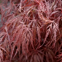 Acer palmatum CRIMSON QUEEN - Erable du Japon