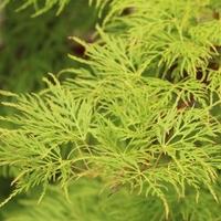 Acer palmatum EMERALD LACE - Erable du Japon