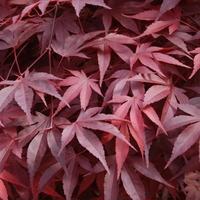 Acer palmatum FIRE GLOW - Erable du Japon