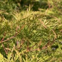 Acer palmatum GREEN GLOBE - Erable du Japon