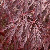 Acer palmatum INABA SHIDARE - Erable du Japon