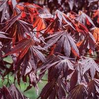 Acer palmatum INAZUMA - Erable du Japon