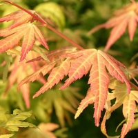 Acer palmatum ORANGE DREAM - Erable du Japon