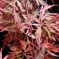 Acer palmatum ORANGEOLA - Erable du Japon