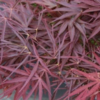 Acer palmatum RED PYGMY - Erable du Japon