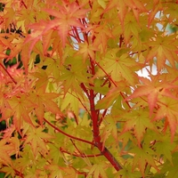 Acer palmatum SANGO KAKU - Erable du Japon