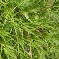 Acer palmatum SEIRYU - Erable du Japon