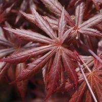 Acer palmatum TROMPENBURG - Erable du Japon