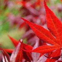 Acer palmatum YUBAE - Erable du Japon