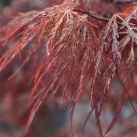Acer palmatum GARNET - Erable du Japon