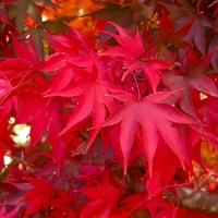 Acer palmatum O SAKAZUKI - Erable du Japon