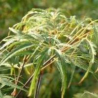 Acer palmatum PALMATIFIDUM - Erable du Japon